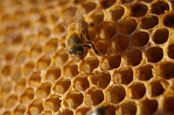 Abeille insecte de cire et de miel en images dinosoria for Carrelage nid d abeille