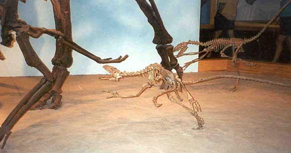 Stenonychosaurus dinosoria - Poids d une autruche ...