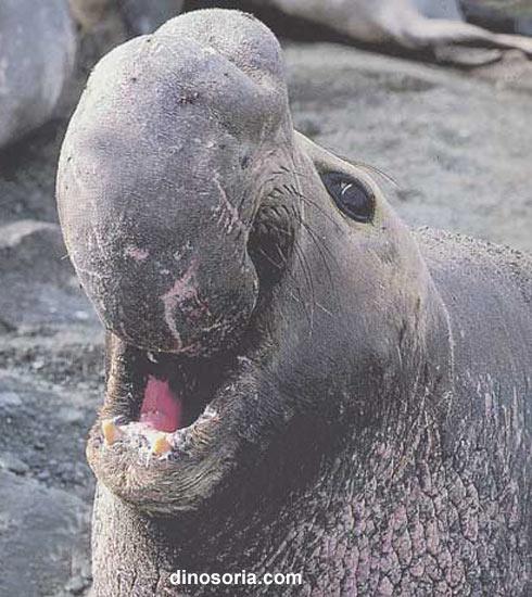 Elephant de mer
