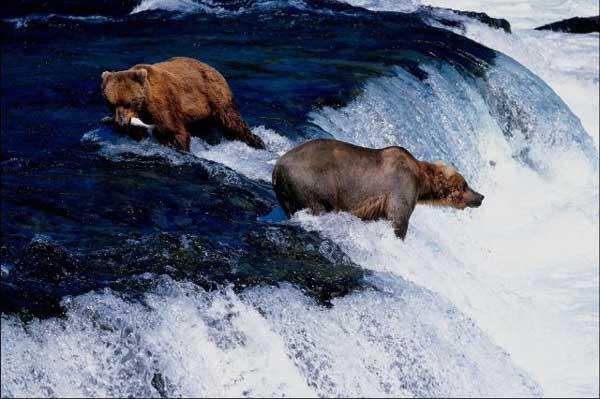 Grizzli. Ursus Arctos Horribilis . Photos. Video. Dinosoria
