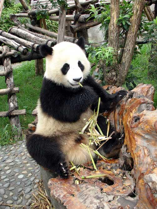 fond d'ecran panda