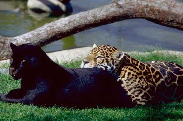 Panthere noire en images dinosoria - Bebe du jaguar ...
