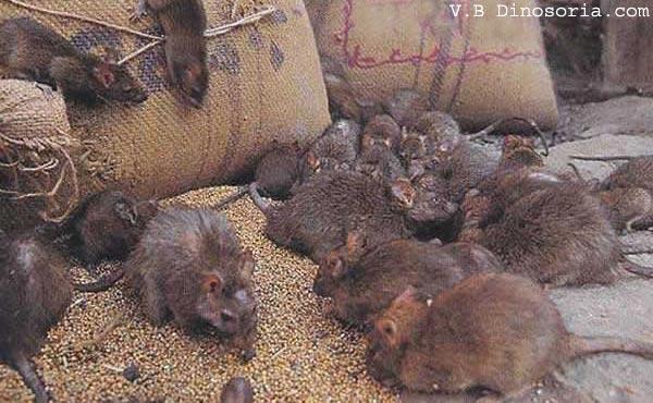 rat d 39 egout surmulot rattus norvegicus en images. Black Bedroom Furniture Sets. Home Design Ideas