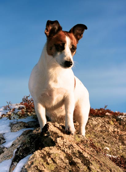 Jack Russel . Comportement. Education. En Images. Dinosoria