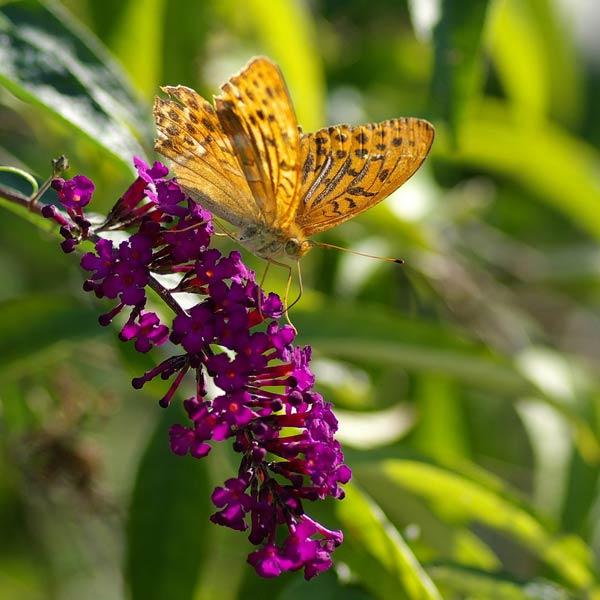 Papillon. Tabac d'Espagne