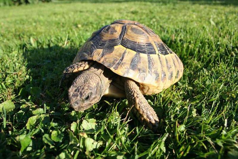 tortue a acheter de terre