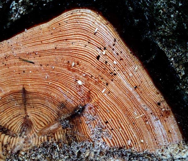 Les records des arbres en images dinosoria - Reconnaitre les arbres par leur tronc ...