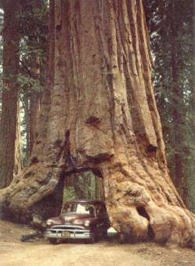 Quel arbre est le plus haut du monde - Quel est le nom le plus porte au monde ...