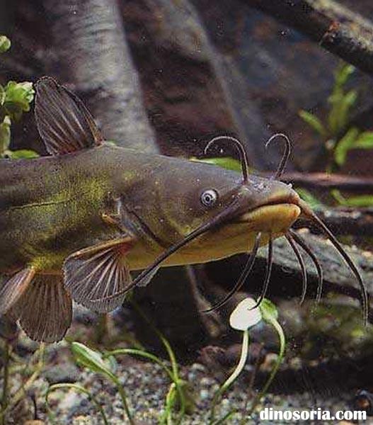 Poisson chat en images dinosoria - Peche du poisson chat au coup ...