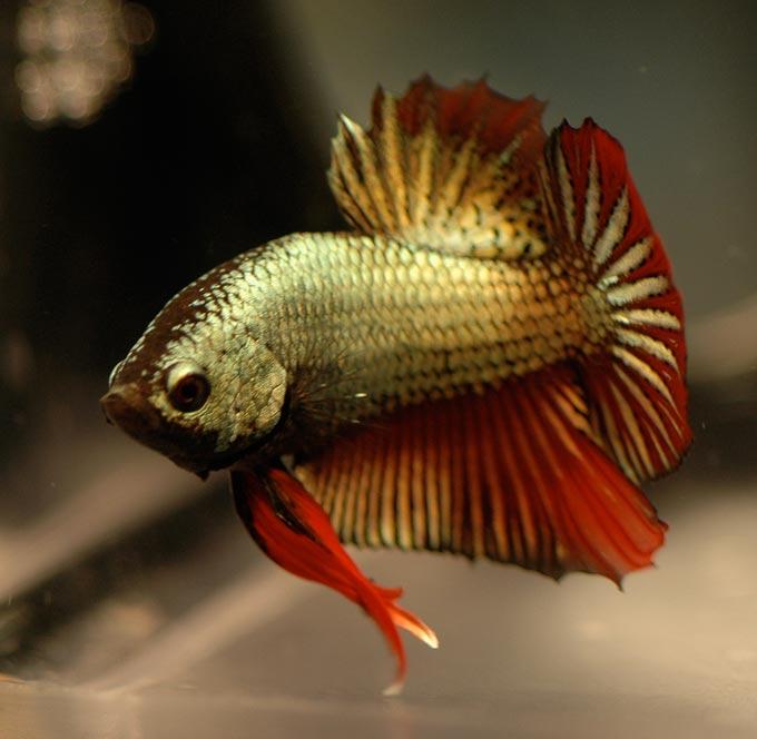 poisson combattant en images dinosoria
