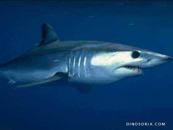 requin taupe bleu mako en images dinosoria. Black Bedroom Furniture Sets. Home Design Ideas
