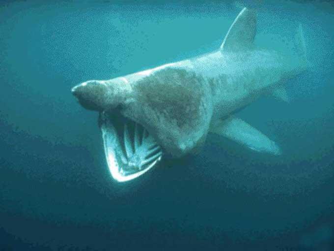 Entre 6 et 8 mètres quelques rares individus mesurent entre 9 et 10 m