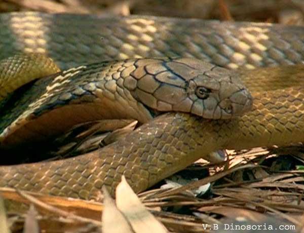 Cobra royal. Ophiophagus hannah . En Images. Vidéos. Dinosoria